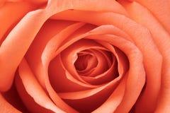Bella rosa di rosa Immagini Stock