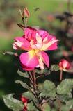 Bella rosa di rosa della foto Fotografia Stock Libera da Diritti