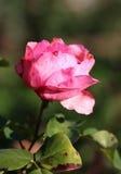 Bella rosa di rosa della foto Immagine Stock Libera da Diritti