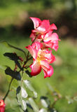 Bella rosa di rosa della foto Fotografia Stock