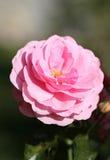 Bella rosa di rosa della foto Fotografie Stock