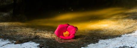 Bella rosa di rosa selvaggio in una pozza Fotografia Stock Libera da Diritti