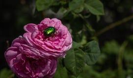 Bella rosa rosa e scarabeo verde su primo piano fotografie stock libere da diritti