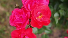 Bella rosa fertile di rosa in una vista di fine del parco di estate stock footage