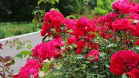 Bella rosa fertile di rosa in una vista di fine del parco di estate video d archivio