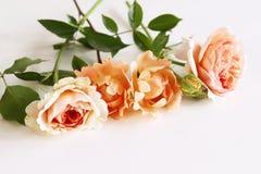 Bella rosa fresca isolata su fondo bianco Fondo romantico delicato Vista superiore, disposizione piana Fiori, molla fotografia stock