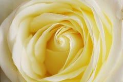 Bella Rosa gialla nel Nord della Tailandia fotografie stock