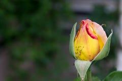 Bella rosa infestata di giallo - formato RAW Fotografia Stock Libera da Diritti