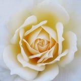 Bella rosa molle di giallo Fotografie Stock