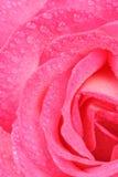 Bella Rosa rosa con le gocce di acqua macro Immagini Stock Libere da Diritti