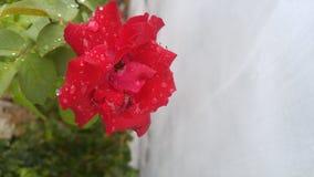 Bella Rosa rossa fotografia stock