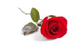 Bella Rosa rossa Immagini Stock Libere da Diritti