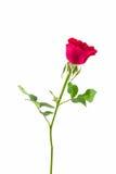 Bella Rosa rossa Fotografie Stock
