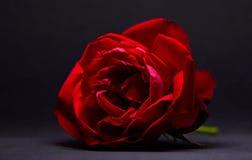 Bella Rosa rossa Immagine Stock Libera da Diritti
