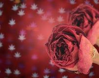 bella rosa rossa asciutta sul fondo del bokeh delle foglie di acero della sfuocatura Fotografia Stock Libera da Diritti