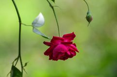Bella rosa rossa che appende sottosopra fotografia stock