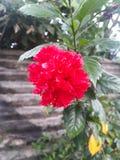 Bella Rosa rossa fotografie stock libere da diritti