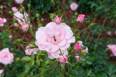 Bella rosa rossa con il fuoco selettivo fotografia stock