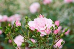 Bella rosa rossa con il fuoco selettivo fotografie stock libere da diritti