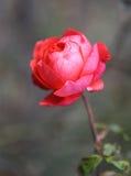 Bella rosa rossa della foto Immagine Stock