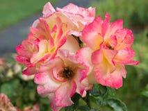 Bella rosa rossa di giallo fotografia stock