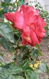 Bella rosa rossa nella mattina fotografie stock