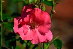 Bella rosa rossa vibrante Fotografia Stock Libera da Diritti