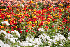 Bella Rose Garden Immagine Stock