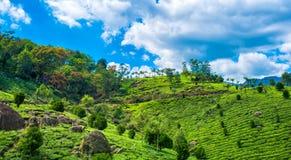 Bella scena dell'India con le colline, le piantagioni di tè verde e la b Immagini Stock