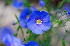 Bella scena della natura con i fiori di fioritura del lino nel chiarore del sole Fotografie Stock