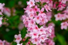 Bella scena della natura con l'albero di fioritura Piovuto appena sopra Sprin Immagini Stock Libere da Diritti
