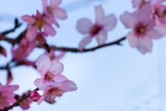 Bella scena della natura Fiori della mandorla della primavera Bello fondo astratto dei fiori della mandorla Primavera al campo immagine stock libera da diritti