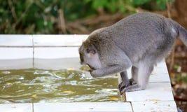 Bella scimmia unica del ritratto alla foresta delle scimmie in Bali Indonesia, animale selvatico grazioso Fotografia Stock