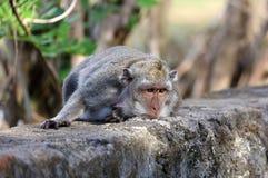 Bella scimmia unica del ritratto alla foresta delle scimmie in Bali Indonesia, animale selvatico grazioso Immagine Stock Libera da Diritti