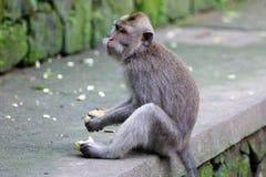Bella scimmia unica del ritratto alla foresta delle scimmie in Bali Indonesia, animale selvatico grazioso Fotografie Stock
