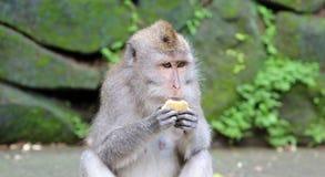 Bella scimmia unica del ritratto alla foresta delle scimmie in Bali Indonesia, animale selvatico grazioso Fotografia Stock Libera da Diritti