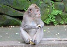 Bella scimmia unica del ritratto alla foresta delle scimmie in Bali Indonesia, animale selvatico grazioso Fotografie Stock Libere da Diritti