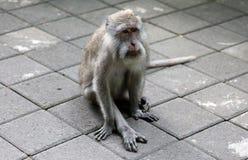 Bella scimmia unica del ritratto alla foresta delle scimmie in Bali Indonesia, animale selvatico grazioso Immagini Stock Libere da Diritti