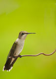 Bella seduta maschio giovanile del colibrì Fotografia Stock Libera da Diritti