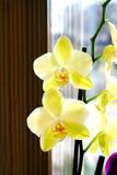 Bella stanza gialla del fiore dell'orchidea Fotografia Stock Libera da Diritti