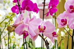 Bella stanza rosa del fiore dell'orchidea Immagini Stock