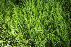 Bella struttura astratta del riso Fotografie Stock