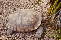 Bella tartaruga gigante immagine stock