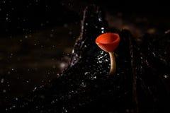 Bella tazza dei funghi in foresta pluviale Fotografie Stock Libere da Diritti