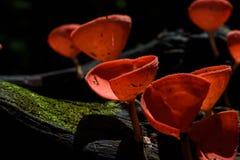 Bella tazza dei funghi in foresta pluviale Immagine Stock Libera da Diritti