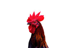 Bella testa del pollo isolata su bianco Immagini Stock Libere da Diritti
