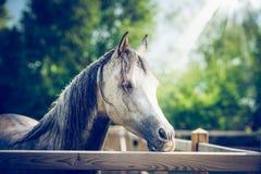 Bella testa di cavallo grigia araba al recinto del recinto chiuso al fondo della natura di estate immagini stock