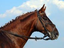 Bella testa di cavallo marrone con la briglia Immagini Stock