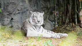 Bella tigre bianca stock footage
