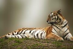 Bella tigre che indica sulla banca erbosa fotografia stock libera da diritti
